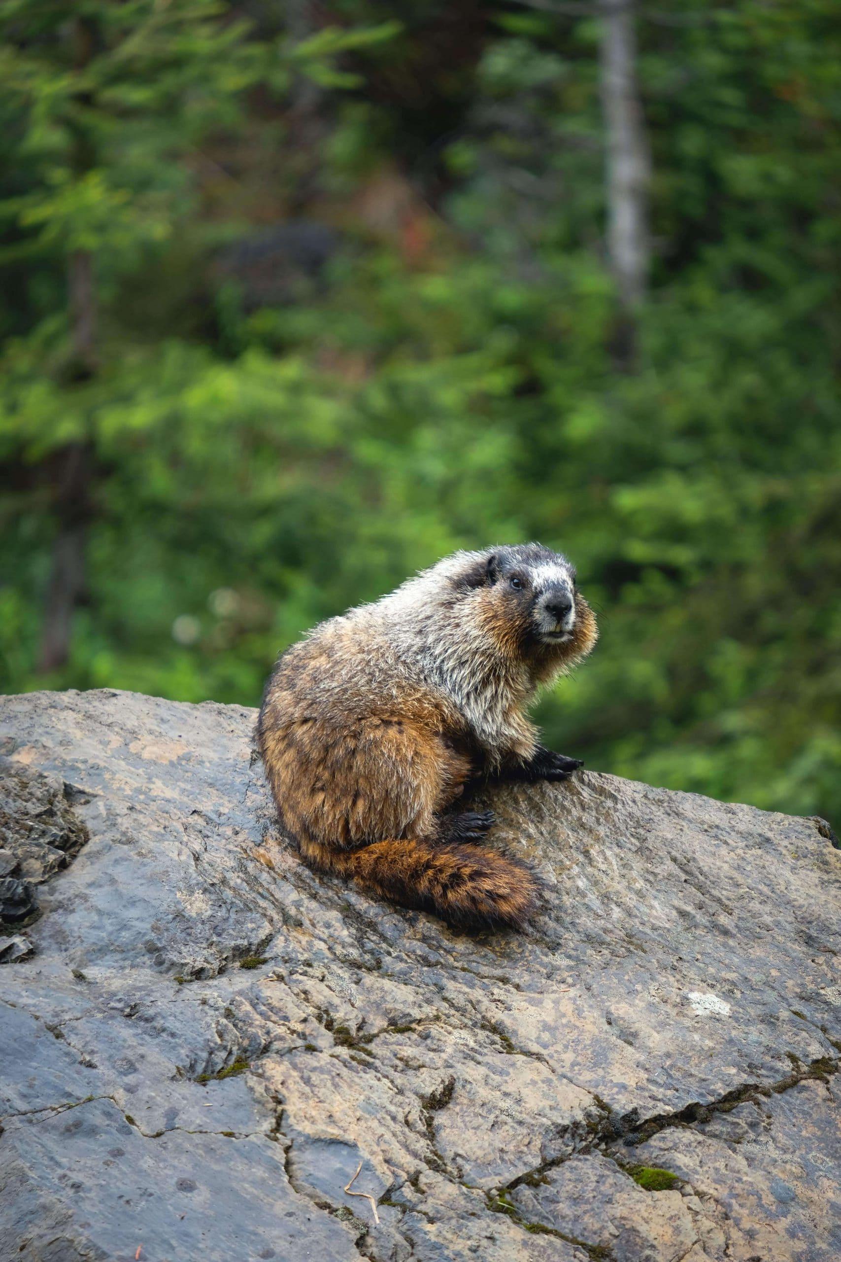Marmot along Yoho Valley Road, Yoho National Park
