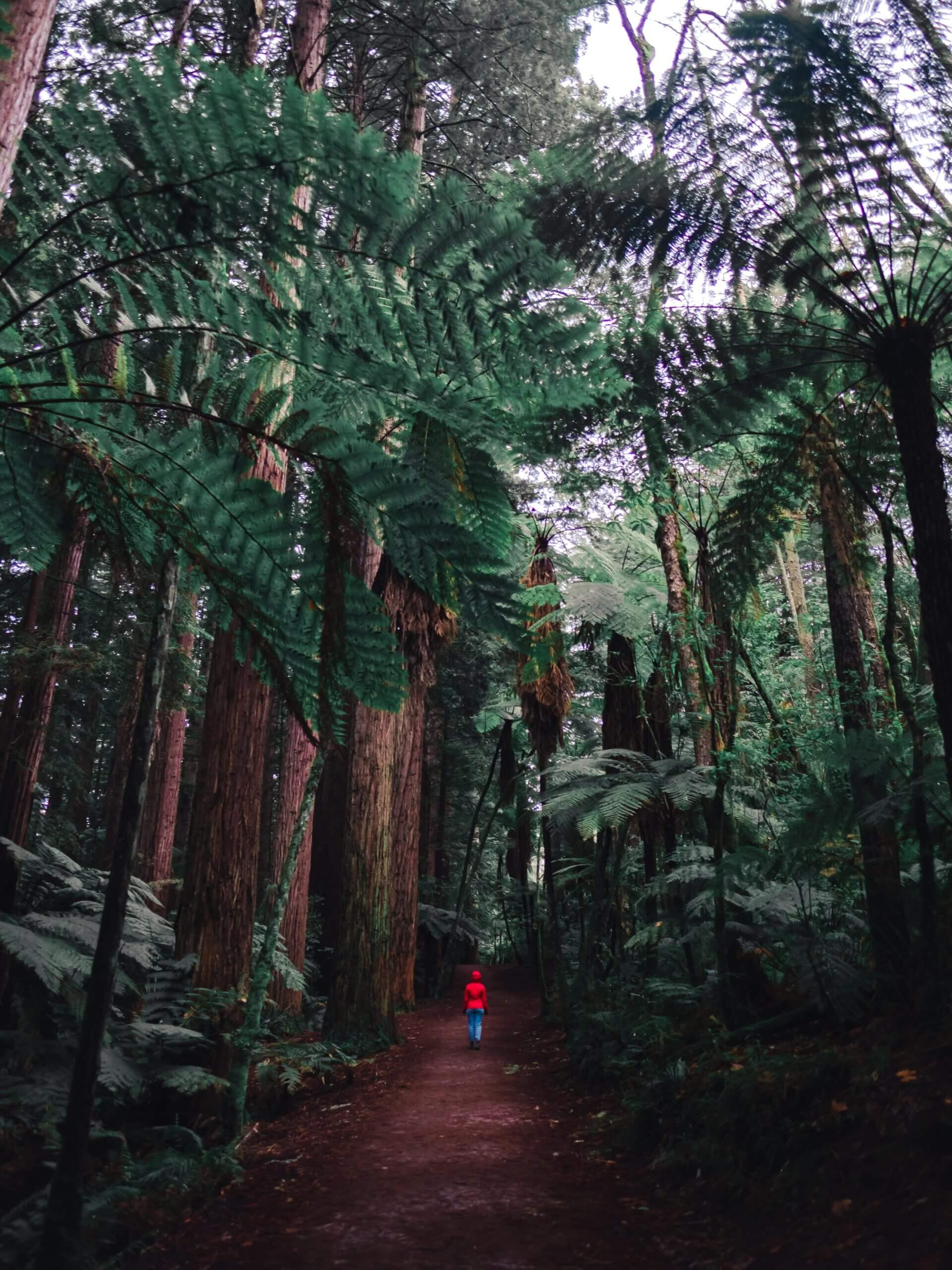 Empty trails of redwood forest trails in Rotorua. September, October, November are the best months to visit New Zealand to have trails all to yourself