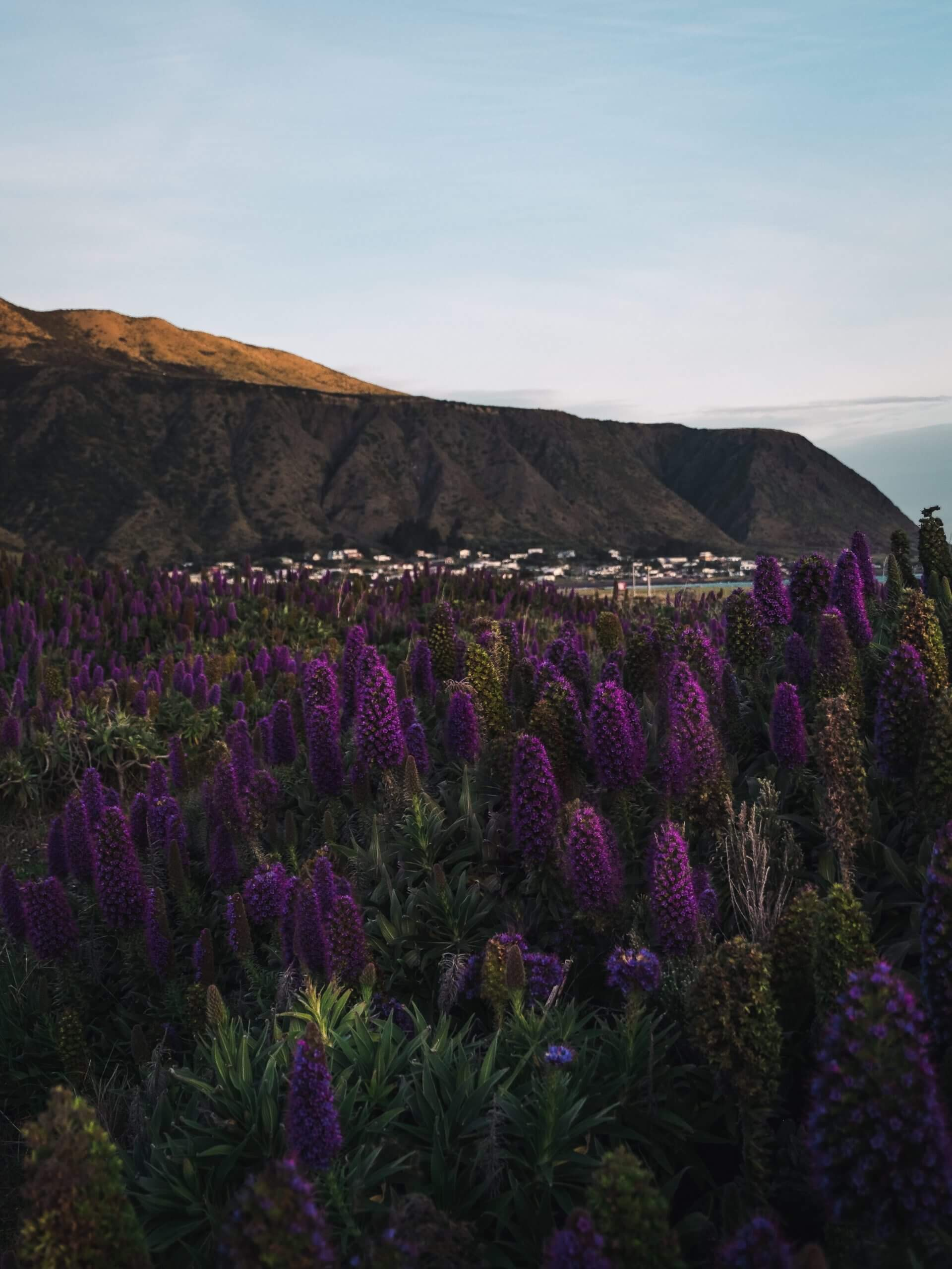 Lupines starting to bloom during September in New Zealand