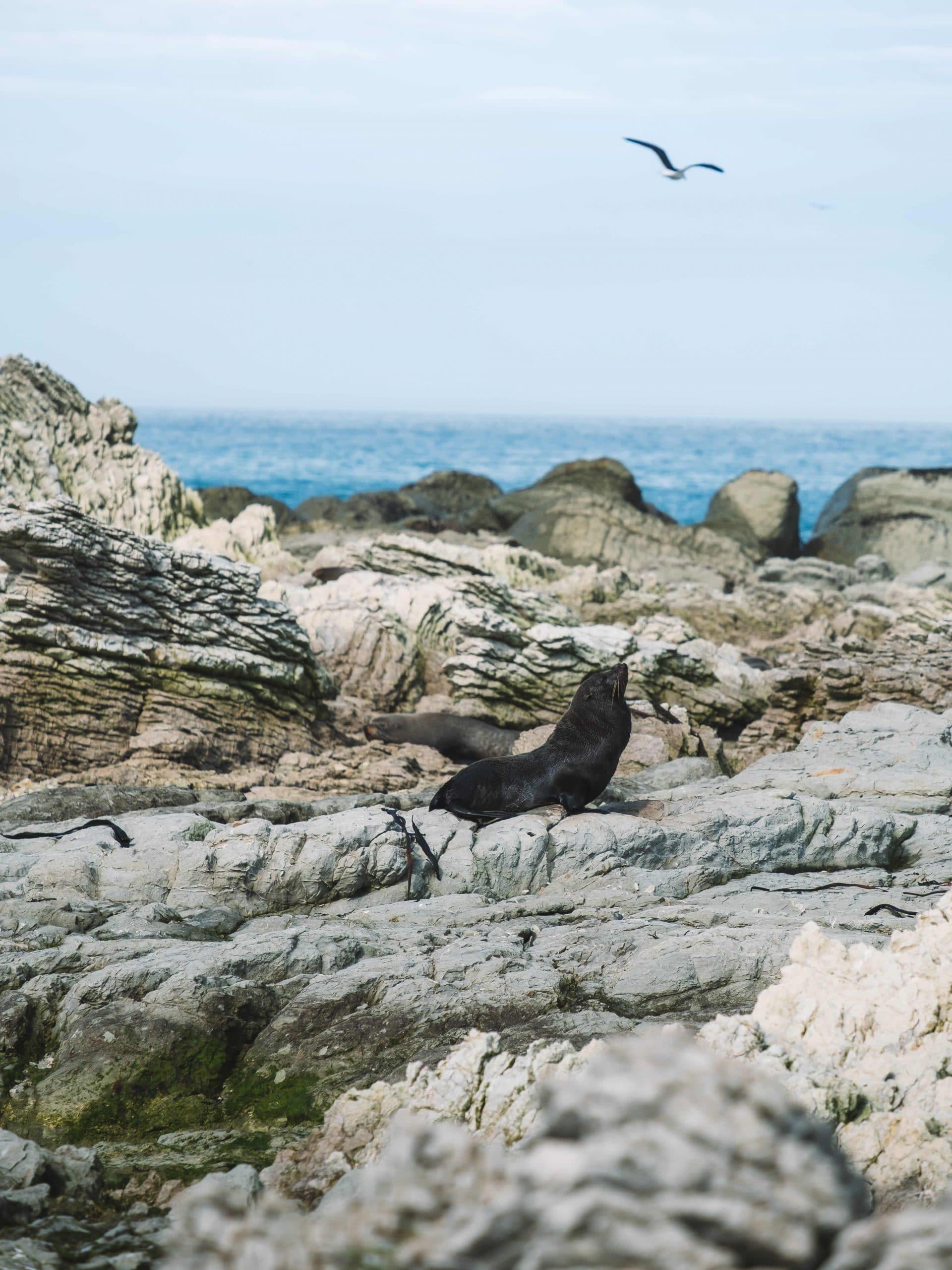 Seal pup sunbathes on the shore of Kaikoura, New Zealand