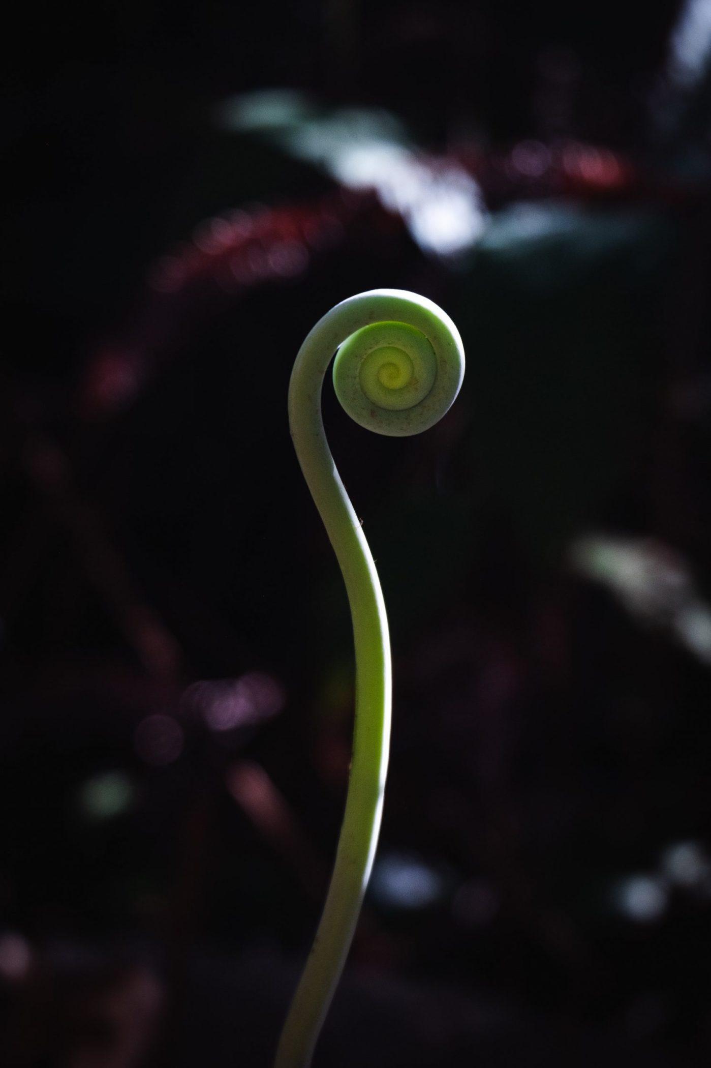 Single fiddle head fern