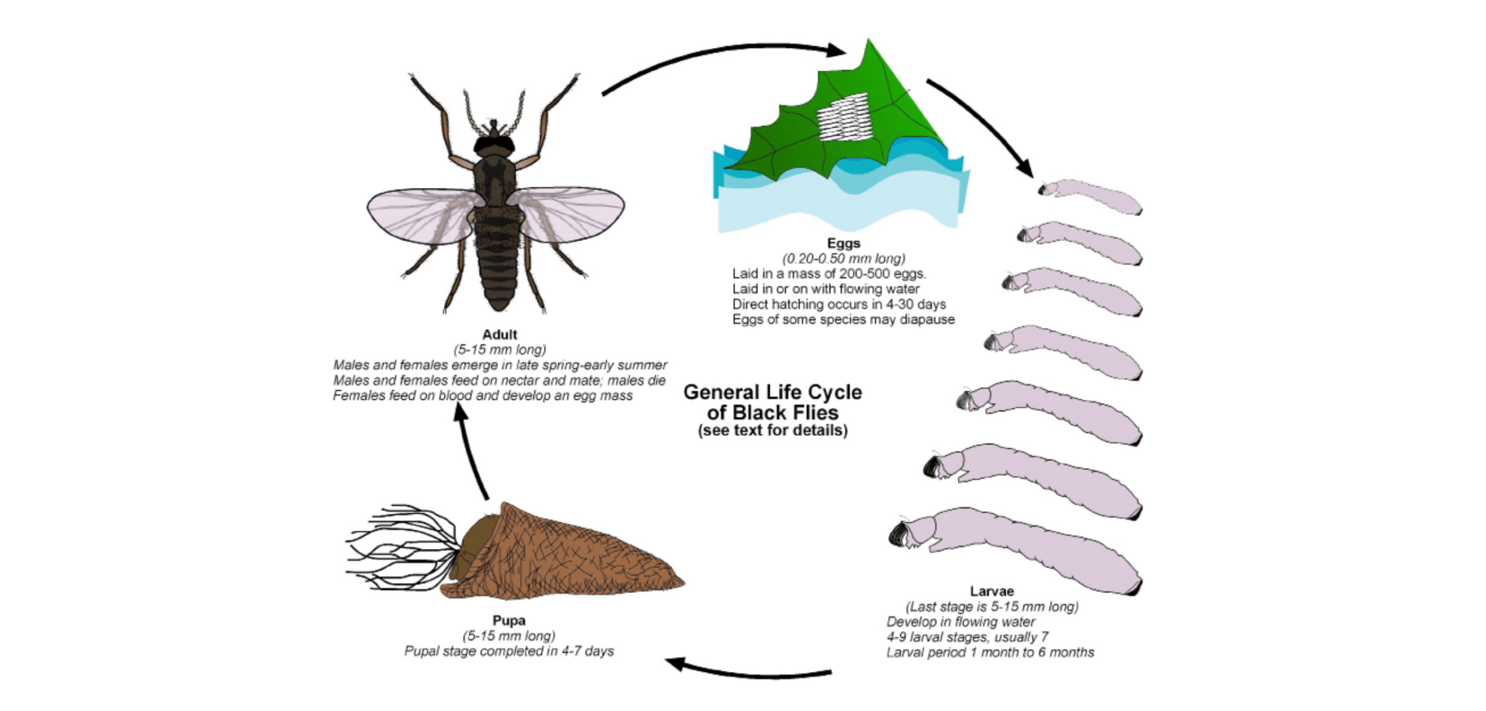 Lifecycle of a black fly or buffalo gnat